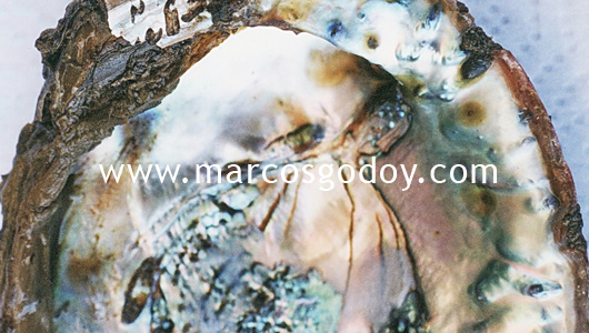 shell-boring-polychaeta-i