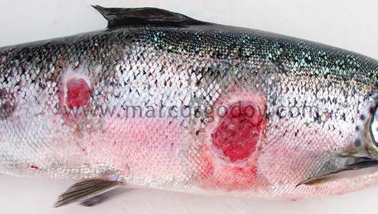salmon-rickettsial-septicemia-ulcer-vi
