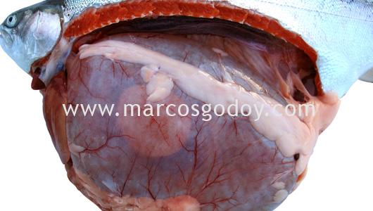 gastric-dilatation-fat-belching-vi