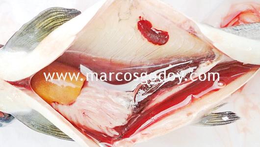 acites-hsmi-atlantic-salmon-ii-e