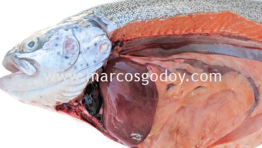 rainbow-trout-hemopericardium-iii