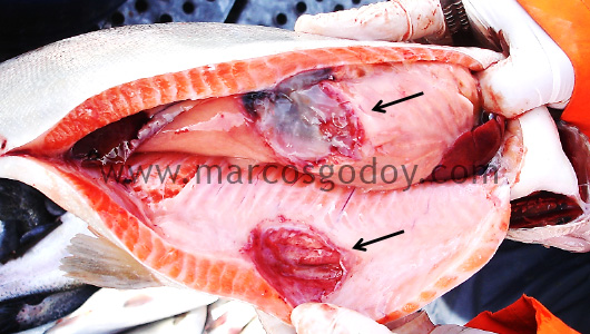acute-peritonitis-in-rainbow-trout-viii