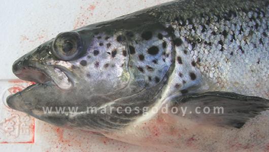 Anemia Infecciosa del Salmon: Patología Macroscopica I, Signos ...