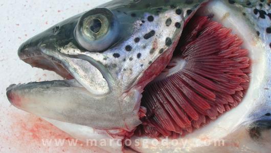 branquias pez: