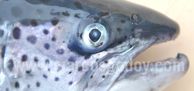 Atlantic salmon cataract IV