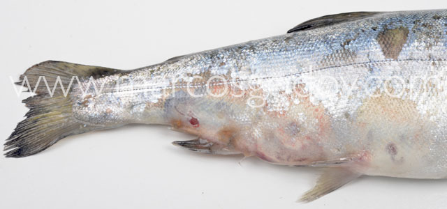 Flavobacterosis coho salmon gross IV