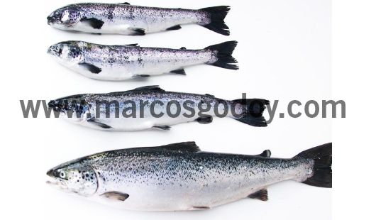 runt-atlantic-salmon-i