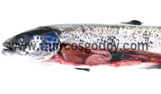 runt-atlantic-salmon-v