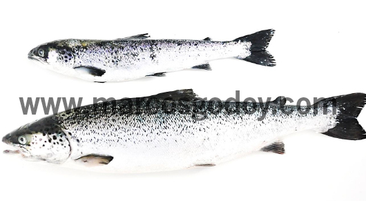 runt-atlantic-salmon-vii
