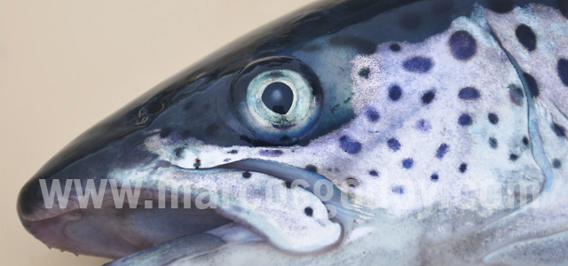 Atlantic salmon cataract II