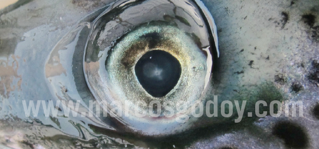 Atlantic salmon cataract V