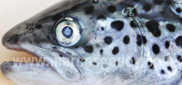Atlantic salmon cataract VI