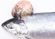 Salmon coho tumor small