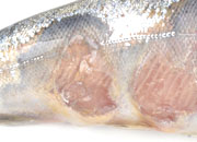 Flavobacterosis coho salmon gross small